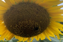 Plenty of bees for the sunflowers...